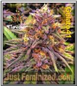 Flavour Chasers Gelato 41 - Best & Cheapest UK Seeds Supplier